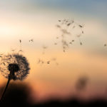 Dandelion seeds blowing in the wind, disseminating ideas, thought leadership